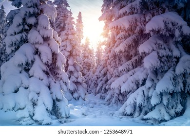 Beautiful winter landscape, amazing view of a big fir trees covered with snow in bright sun light, sunny frosty day in the forest, Czech republic