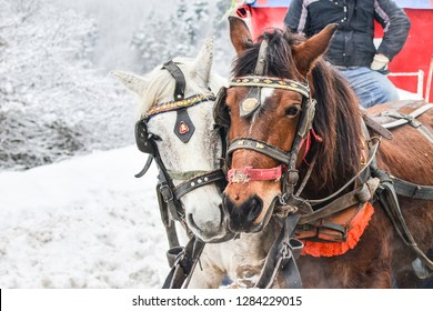 Beautiful winter landscape with many snow and spruce trees. The Abant Lake Natural Park Karadeniz (Black Sea) Region, Bolu, Turkey with horse carriage. Holidays and outside activity.