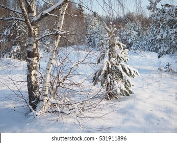 Beautiful winter landscape. Trees with snow. Birches and fir-trees