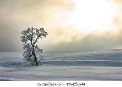 Beautiful winter morning landscape. Single Tall frosty tree covered with frost. Mystic serene scene. Pink fog over snowy meadow at sunrise. Christmas or New Year holiday background. Sunny xmas nature.