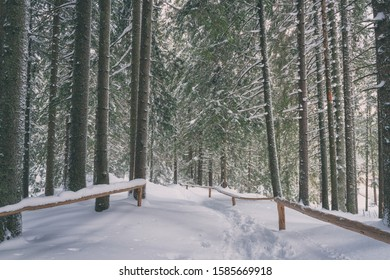 Beautiful winter pine forest with tourist route in snow, scenic nature landscape outdoor travel background, Jasna ski resort, Slovakia (Slovensko)