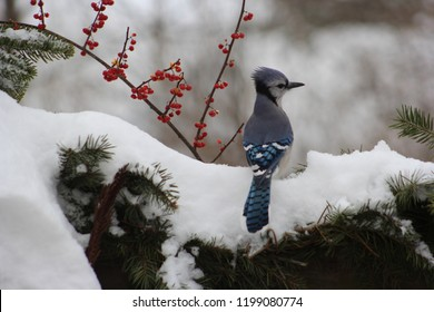 Beautiful winter scene of a blue jay standing in snow covered evergreens with red bittersweet in the background