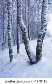 Beautiful winter snowy landscape with birches