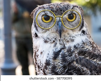 Beautiful wise owl in pince nez style glasses. Just for fun! Vision, eyesight concept.