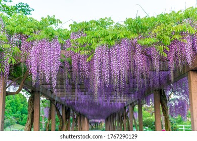 Beautiful wisteria bloomimg in Omishima-Fuji-Park,japan.