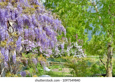 beautiful wisteria blooming in a garden