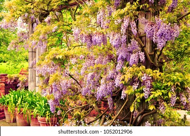 Beautiful wisteria blooming on a pergola, London, England