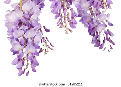 beautiful wisteria flowers isolated on white background