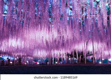 Beautiful wisteria illumination in Ashikaga Flower Park, Tochigi prefecture, Japan