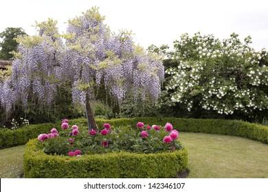 Beautiful Wisteria Tree
