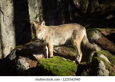 Beautiful wolf in forest