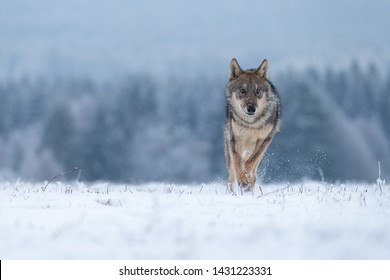 beautiful wolf running in snow with winter forest in background