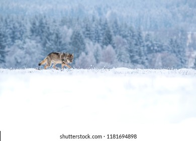 beautiful wolf in winter, wolf running in snow, attractive winter scene with wolf, beautiful winter landscape with wolf