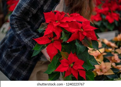 Beautiful woman buying Poinsettia flowers at flower shop.