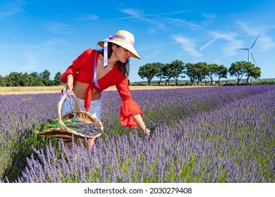 Beautiful woman collecting lavender in a blooming field with her basket. She is wearing a red blouse, white shorts and a straw hat.