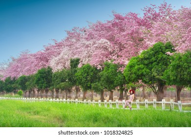 Beautiful woman in nature, wearing her dress sitting on a white wooden fence, with a row of trees with pink flowers blooming in the behind, Trumpet trees, pink; (Scientific Name: Tabebuia Rosea)