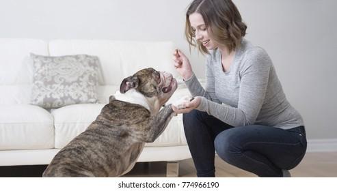 Beautiful woman shaking a paw with a bulldog