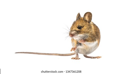 Beautiful Wood mouse (Apodemus sylvaticus) isolated on white background. This cute looking mouse is found across most of Europe and is a very common and widespread species.