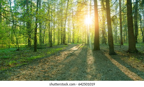 Beautiful woods, sunset in a forest. Trees and flowers in beautiful forest.