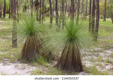 Beautiful Xanthorrhoea growing in forest at Watsonville in Queensland, Australia