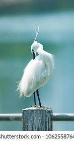 Beautiful Xiamen Egret