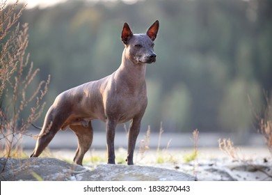 beautiful Xoloitzcuintle (Mexican Hairless Dog) standing in setting sun rays  on natural landscape background