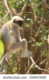 beautiful yelling pic of the langur ape in india
