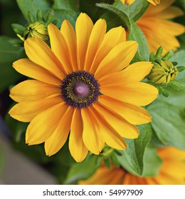 Yellow flower with brown center images stock photos vectors beautiful yellow annual flower with brown center rudbeckia tiger eye mightylinksfo
