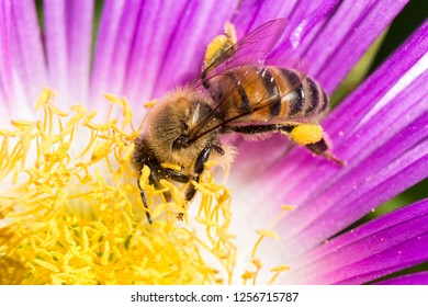 A beautiful and yellow bee collecting pollen on a pink flower