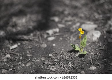 beautiful yellow bell flowers on the ashes