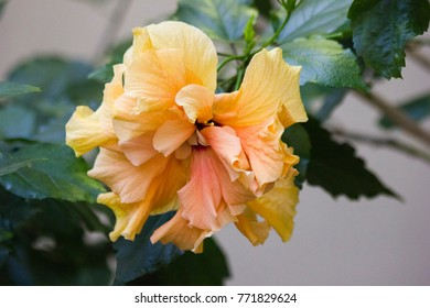 Images of yellow flowers with quotes images stock photos vectors beautiful yellow big flower of hibiscus hibiscus rosa sinensis in greenhouse karkade is mightylinksfo Image collections