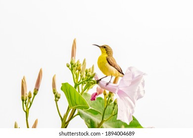 Beautiful yellow bird Male Olive-backed Sunbird (Cinnyris jugularis)