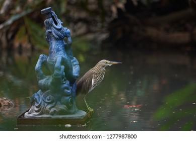 A beautiful yellow bittern bird standing near a fountain statue in the pond