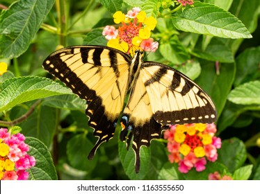 Beautiful yellow and black Eastern Tiger Swallowtail butterfly pollinating a colorful Lantana flower