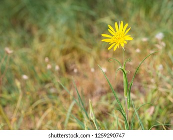 Beautiful yellow blossom of Tragopogon pratensis (Jack-go-to-bed-at-noon,meadow salsify) growing on a meadow