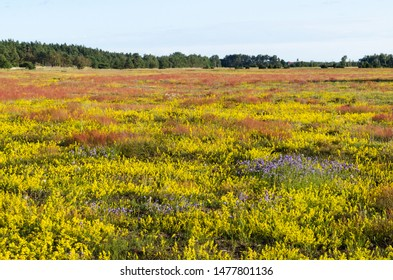 Beautiful yellow, blue and red colors in a blossom field by summertime at the swedish island Oland
