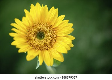 Beautiful yellow bright sunflower covered in raindrops