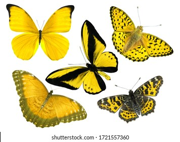 beautiful yellow butterflies isolated on white background