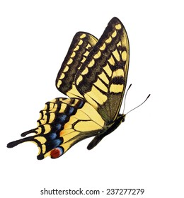 Beautiful yellow butterfly (Papilio hospiton, Corsican Swallowtail) flying isolated on white background.