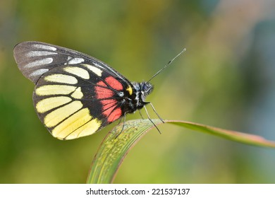 Beautiful yellow butterfly (Red-base Jezebel, Delias pasithoe) on green leaves.