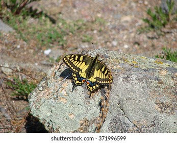 The beautiful yellow butterfly sits on a stone