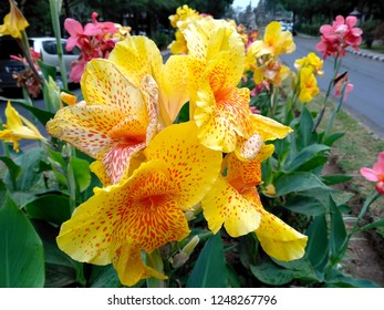Beautiful yellow Canna lily flower blossoming in the garden. Flowers canna lily in the park or garden. Yellow canna lily flower that bloom in the botanical garden of Bedugul Bali, Indonesia.