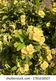 Beautiful yellow caribbean flower, Aruba