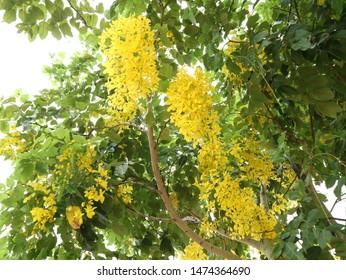 Beautiful Yellow Cassia fistula in Summer.