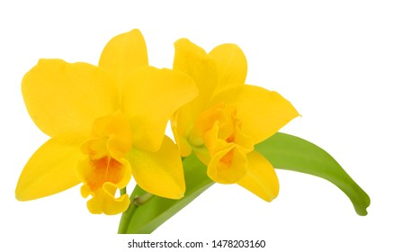 beautiful yellow cattleya orchid flower isolated on white background