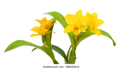 beautiful yellow Cattleya orchid flowers isolated on White background