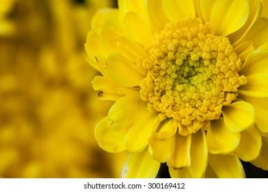 Beautiful  yellow chrysanthemum