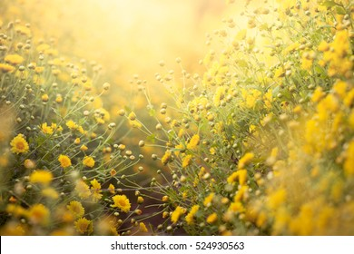 Beautiful yellow Chrysanthemum flower in field for background
