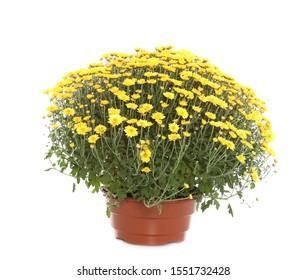 Beautiful yellow chrysanthemum flowers on white background