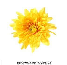 Beautiful yellow chrysanthemum isolated on white